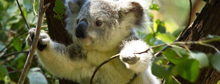Australian metsäpalot ovat karmaisevalla tavalla karsineet maan koalapopulaatiota. Listafriikki.com kertoo nyt 10 faktaa noista suloisista pussieläimistä.