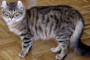 Tässä maailman kymmenen erikoisinta kissarotua. Löytyy niitä kissojakin vaikka minkä näköisiä!