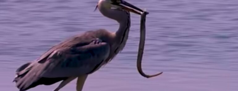 Listafriikin oudoimmat uutiset esittelee tällä viikolla muun muassa ankeriaan, joka söi itsensä ulos haikaran kurkusta.