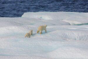 Tänään mielenkiintoisten faktojen kohteena ovat upeat jääkarhut!