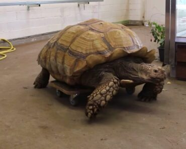 Ousoimmissa uutisissa tutustutaan tällä kertaa rullalautailevaan kilpikonnaan.