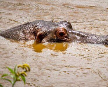 Lukijoiden kysymyksissä järkytytään tänään, kun selviää, että virtahepo ei osaa uida.