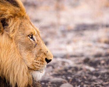 Listalla käsitellään tänään eläinten kuningasta, joten tiedossa on tuhti faktapaketti, jonka pääosissa ovat leijonat.