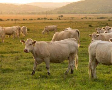 Oudoimmissa uutisissa ikävä tapahtumaketju Ugandasta, jossa klaanijohtajat määrittelivät ihmisehengelle sopivan hinnan: vaimonsa mestanneen miehen perhe maksoi korvauksena 8 lehmää.