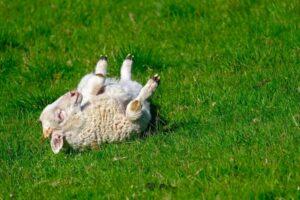 Oudoimmissa uutisissa mennään tänään muun muassa Australiaan, jossa on löytynyt viisijalkainen karitsa.